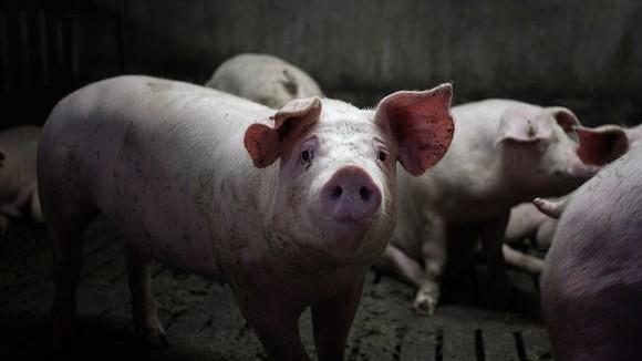 Das Leben eines Schweines – von der Geburt bis zum Schluss
